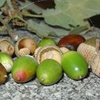 casalozano-icono-bellotas